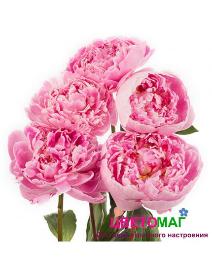 Пион розовый сара бернардт