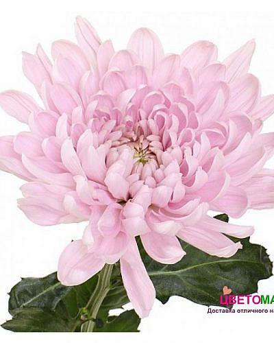 Хризантема одноголовая Алёнка нежно-розовая