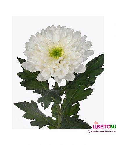Хризантема одноголовая Зембла белая