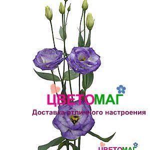 Эустома (Лизиантус)