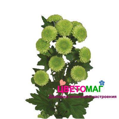 Хризантема кустовая филин грин дарк зеленая