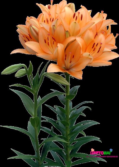 Лилия рыжая