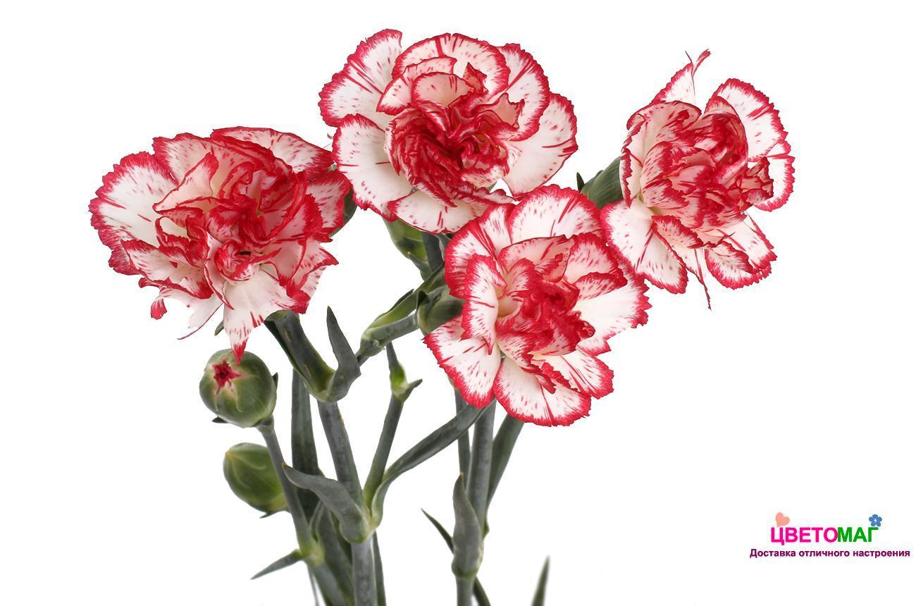 картинки цветов гвоздика на белом фоне в-третьих, иремель