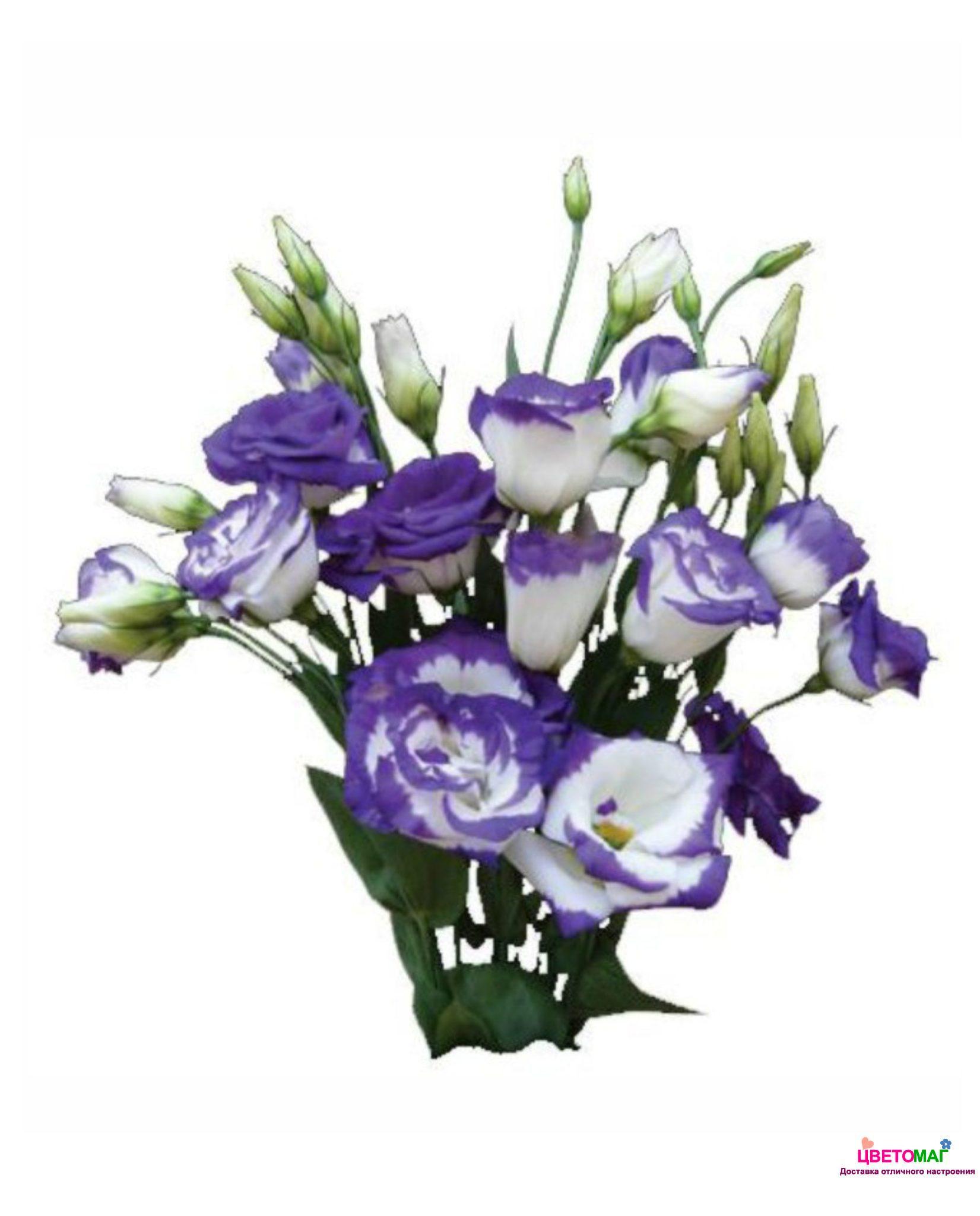 Синий лизиантус(эустома)