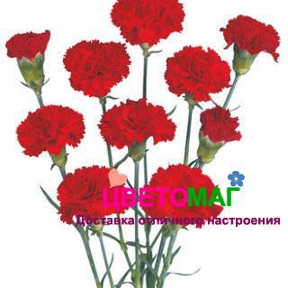 Гвоздика красная кустовая