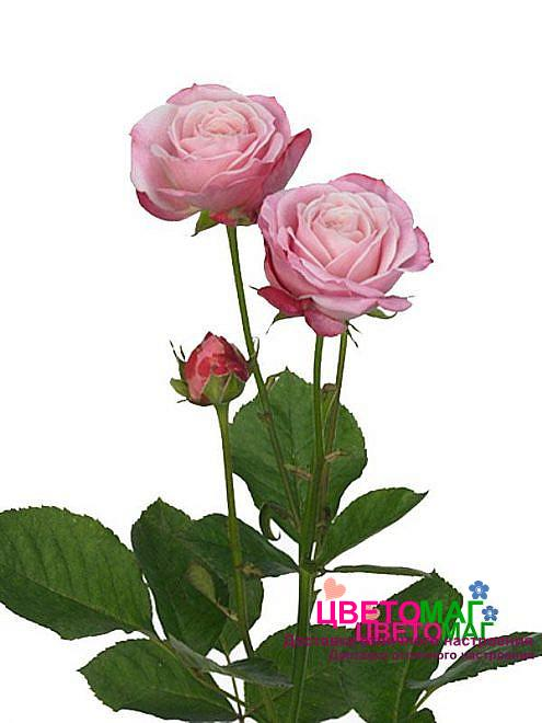 Роза кустовая розовая пионообразная