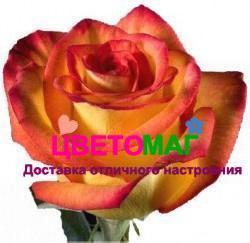 "Роза Хай Меджик ""High Magic"""