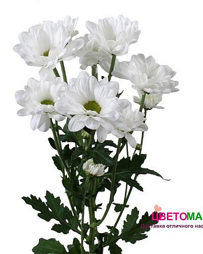 Хризантема кустовая бакарди белая