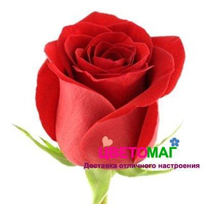 "Роза красная Фридом ""Freedom"""