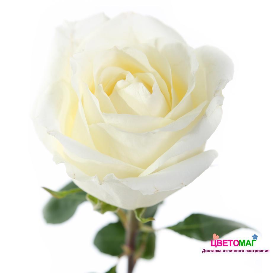 """Роза белый шоколад """"White Chocolate"""""""