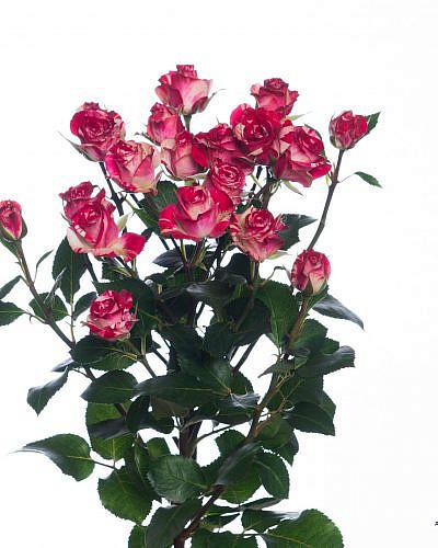 Роза кустовая красная с белым