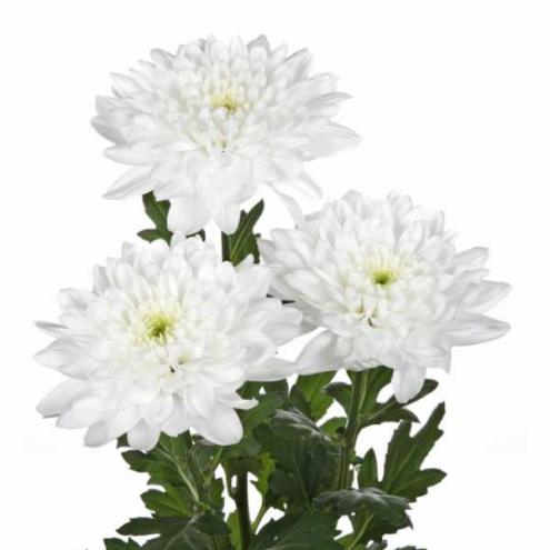 Хризантема кустовая балтика белая