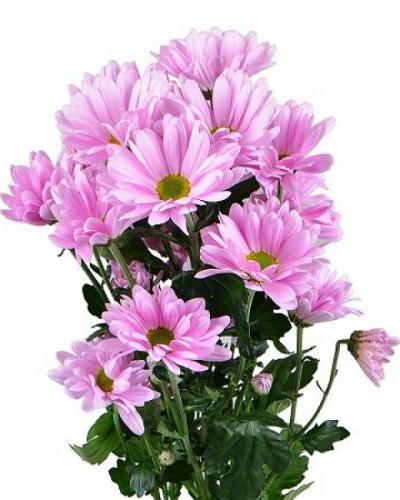 Хризантема кустовая катинка розовая ромашка