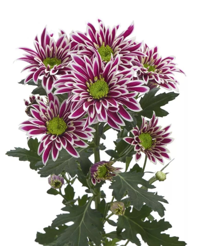Хризантема кустовая саба пёстрая фиолетовая
