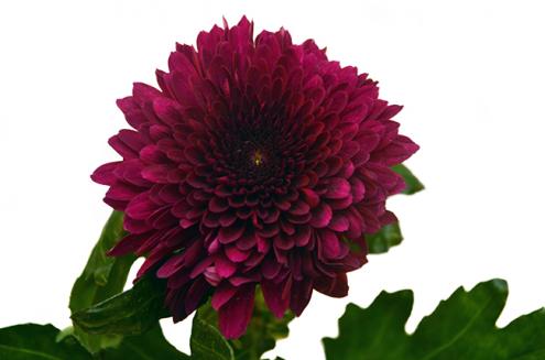 Хризантема одноголовая Барка фиолетовая