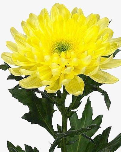 Хризантема одноголовая Зембла желтая.