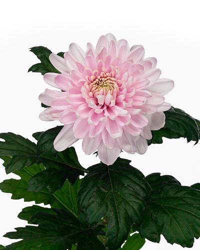 Хризантема одноголовая Россано розовая