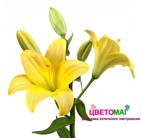 Лилия желтая