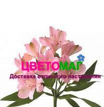 Альстромерия-персиковая-Alstroemeria