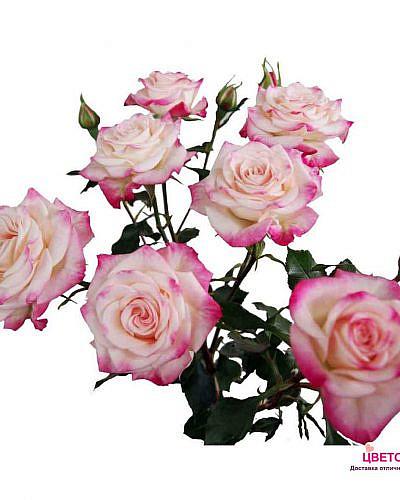 Роза кустовая нежно-розовая