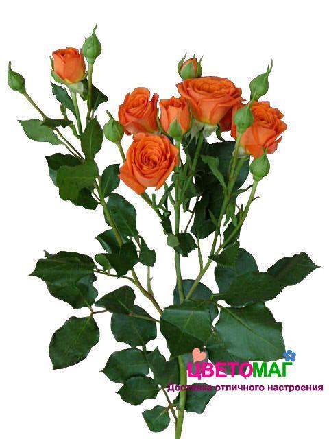 Роза кустовая рыжая