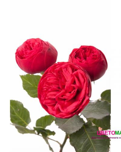 Роза красная кустовая пионовидная