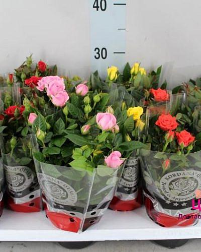 Роза комнатная микс d10