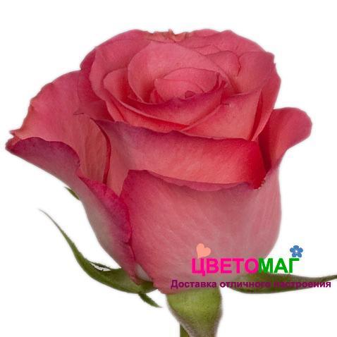 Роза Декора (Decora)