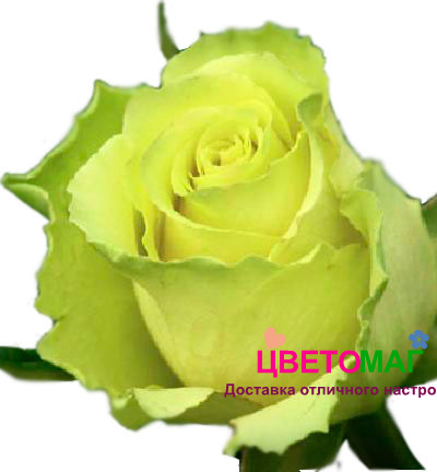 Роза Лимонад (Limonade)