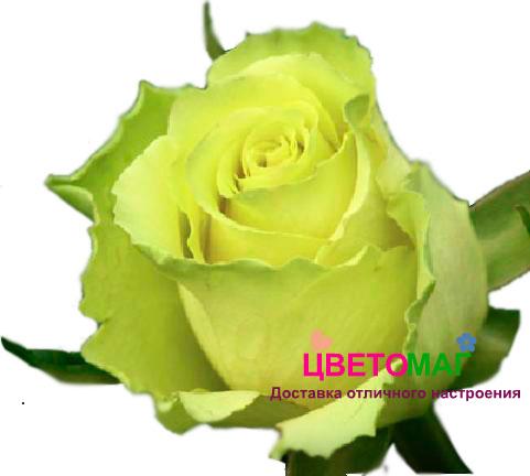 Роза Лимонад (Limonade) СПб