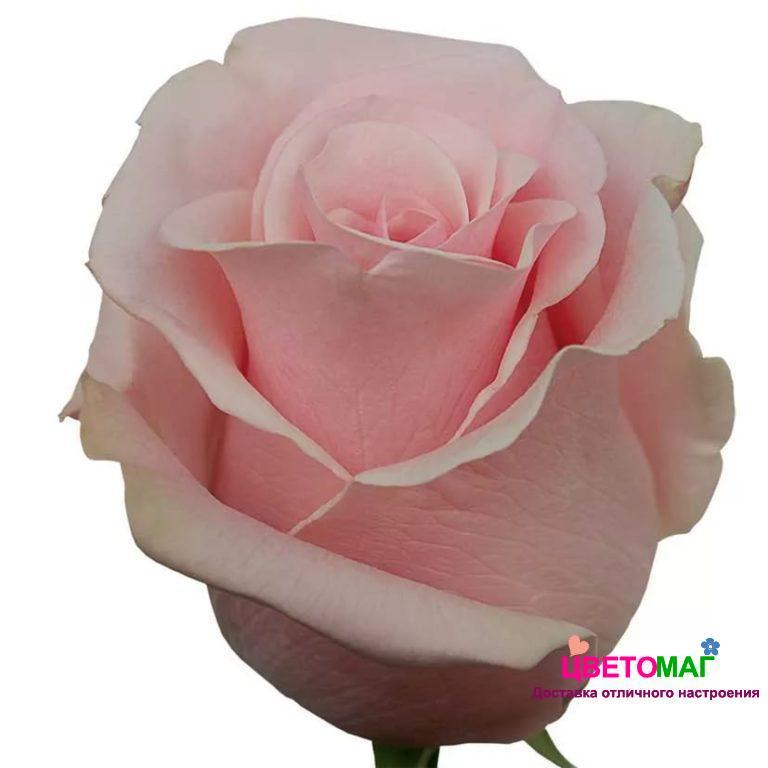 Роза Пинк Мондиаль (Pink Mondial)