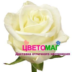 Роза Полар Стар (Polar Star) СПб