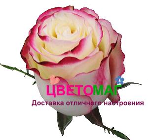 Роза Свитнесс (Sweetness) СПб