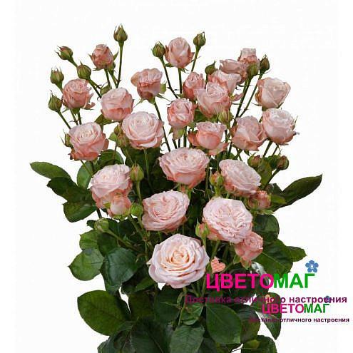Роза кустовая пионовидная Мадам бомбастик