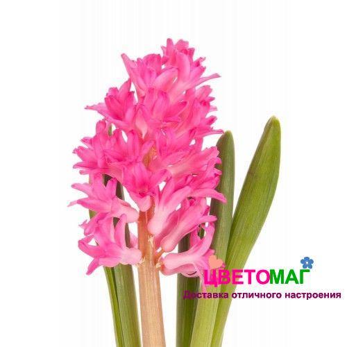 гиацинт розовый спб