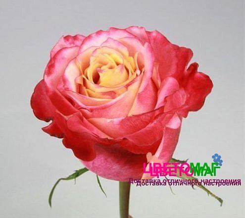 Роза 3Д (3D)