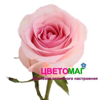 роза nena СПб