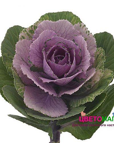 Брасика сиреневая ( розовая)