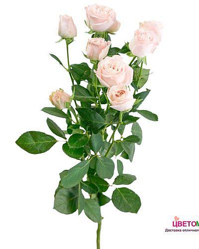 Роза кустовая пионовидная Бомбастик