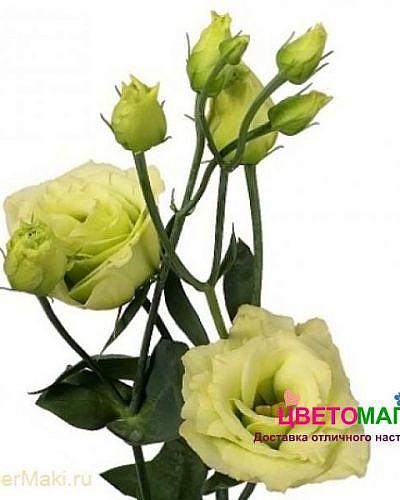 Зеленый лизиантус (эустома)