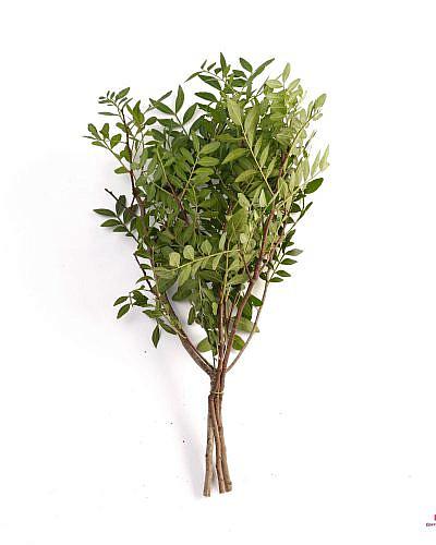 Листья Фисташки