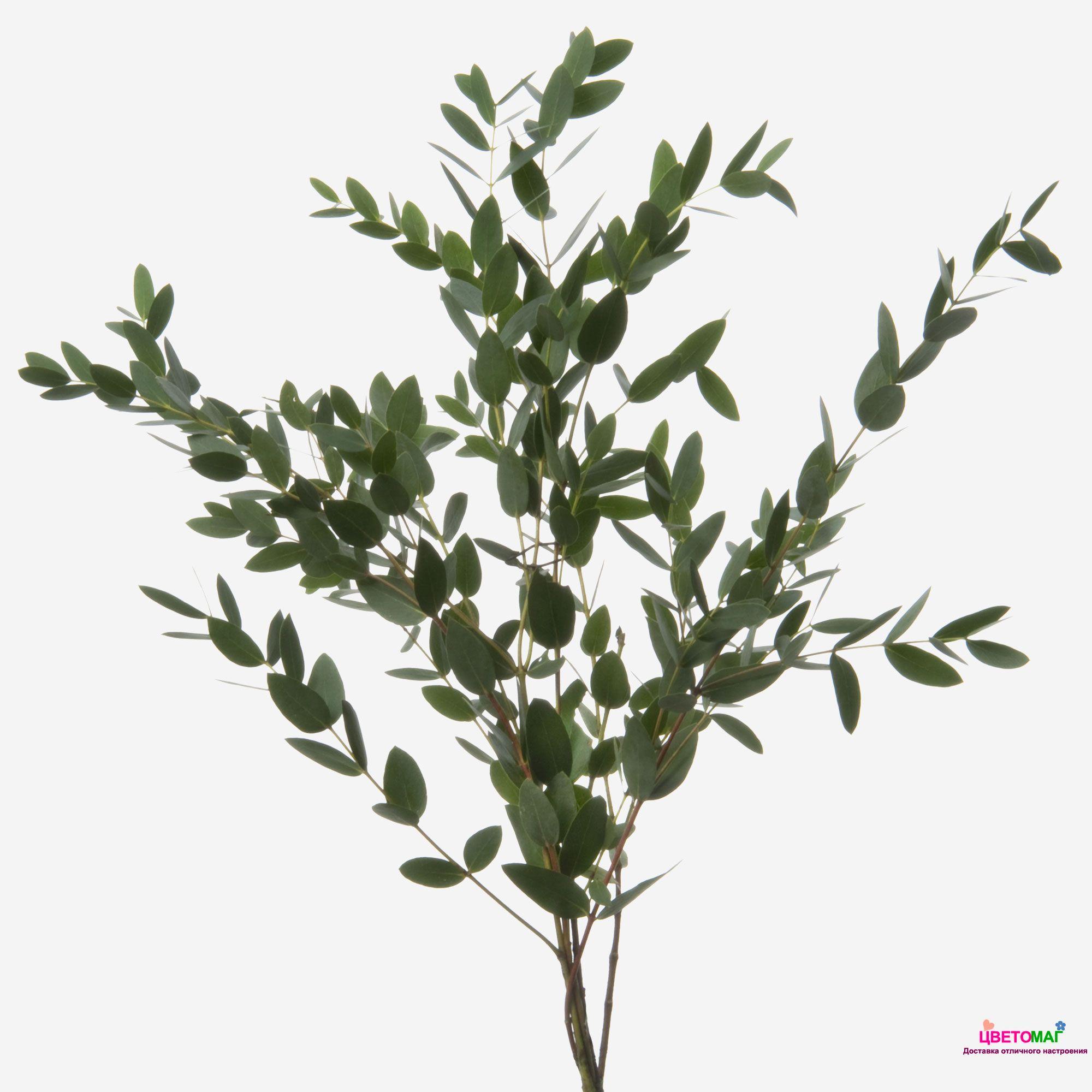 Листья эвкалипта Парфифолия