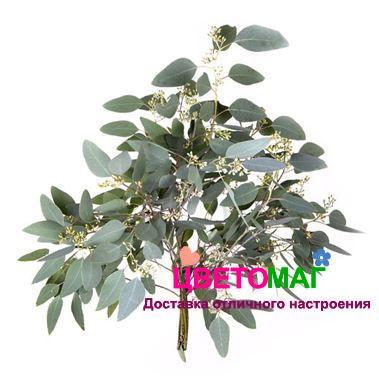 Листья эвкалипта Популус