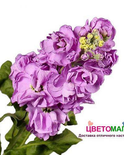 Матиола розовая