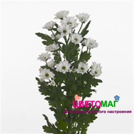 Хризантема кустовая белая сантини