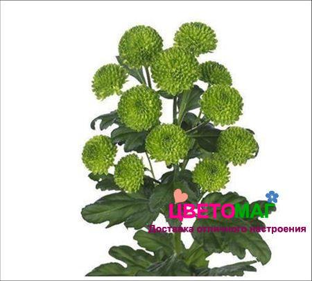 Хризантема кустовая зеленая сантини