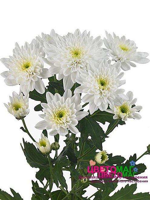 Хризантема кустовая белая бонита