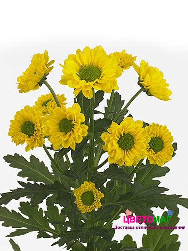 Хризантема кустовая желтая сантини