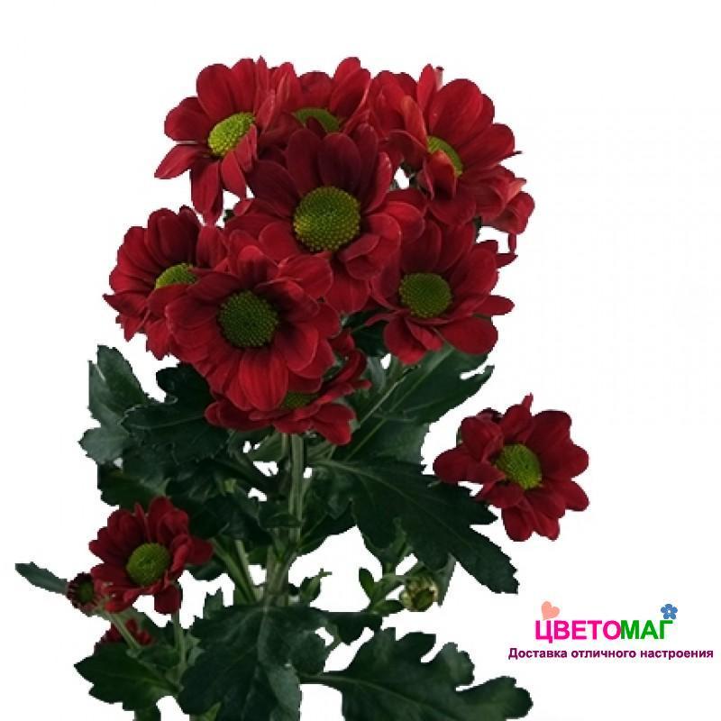 Хризантема кустовая красная сантини