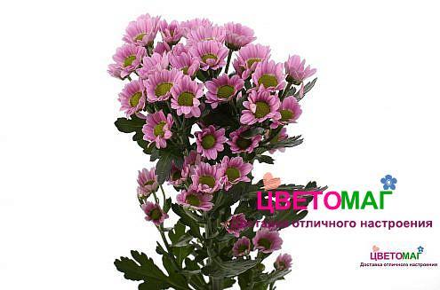 Хризантема кустовая розовая сантини